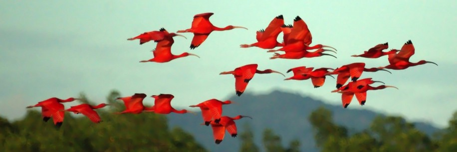 cropped-cropped-scarlet_ibises_in_flight_5544533600.jpg
